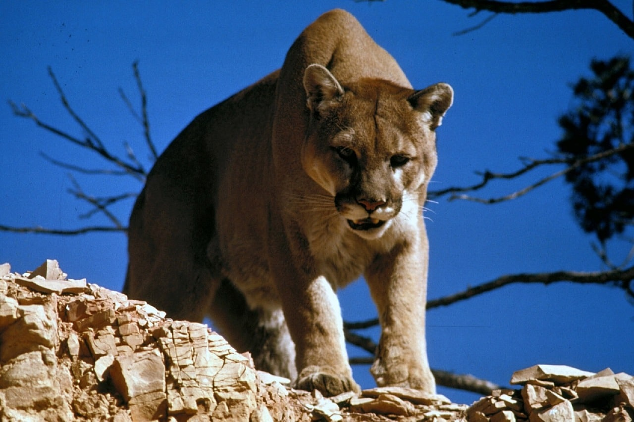 Puma Grand Canyon Nationalpark