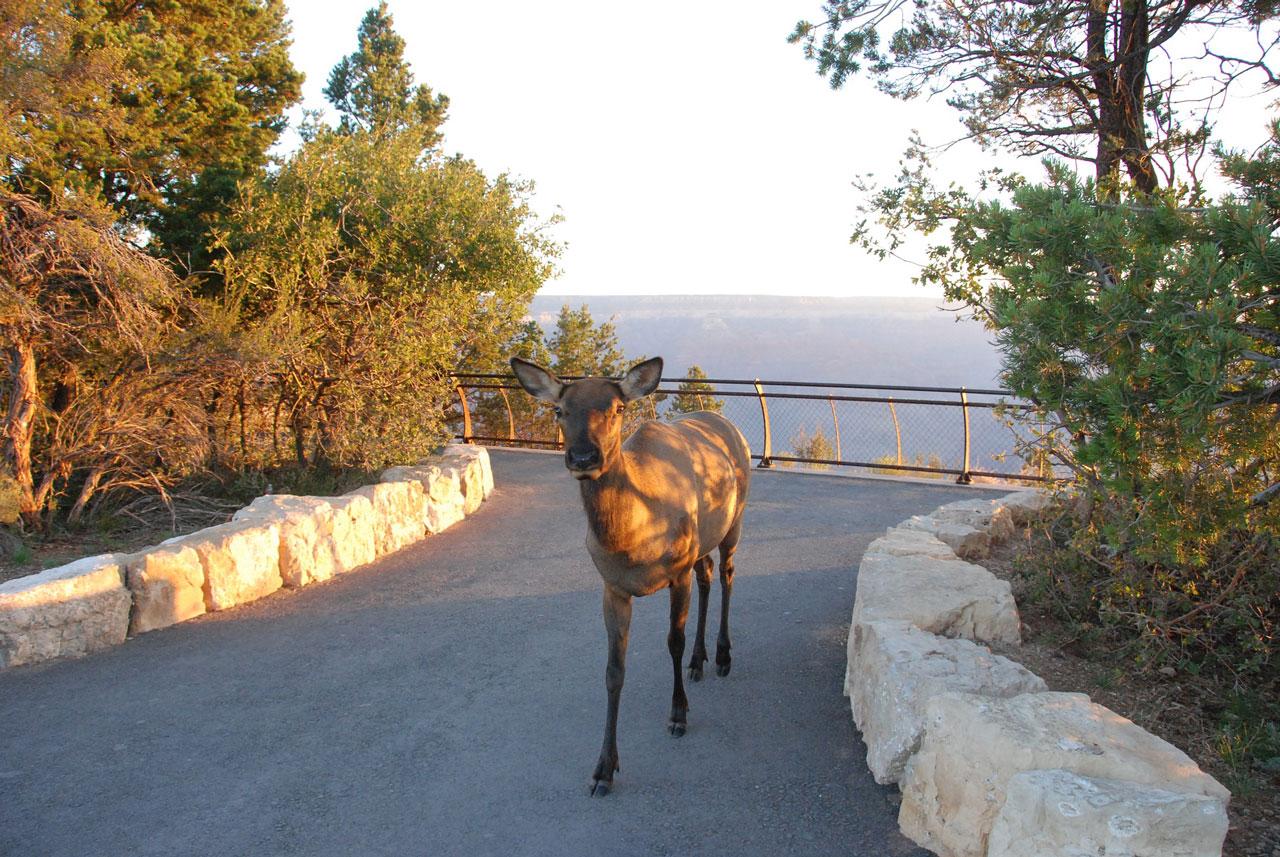 Rotwild Grand Canyon Nationalpark